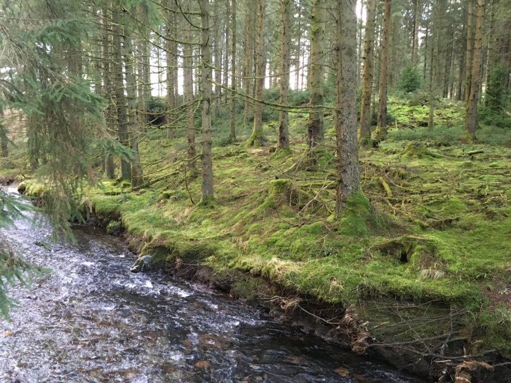 hafren forest with stream in wales