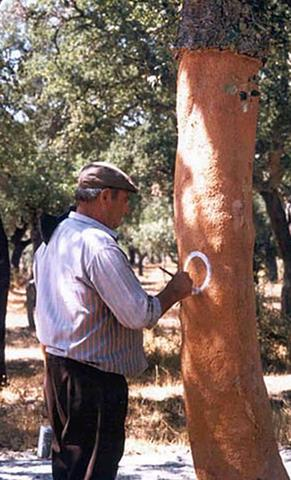 farmer marking the year of harvest on cork oak tree for 9 years time