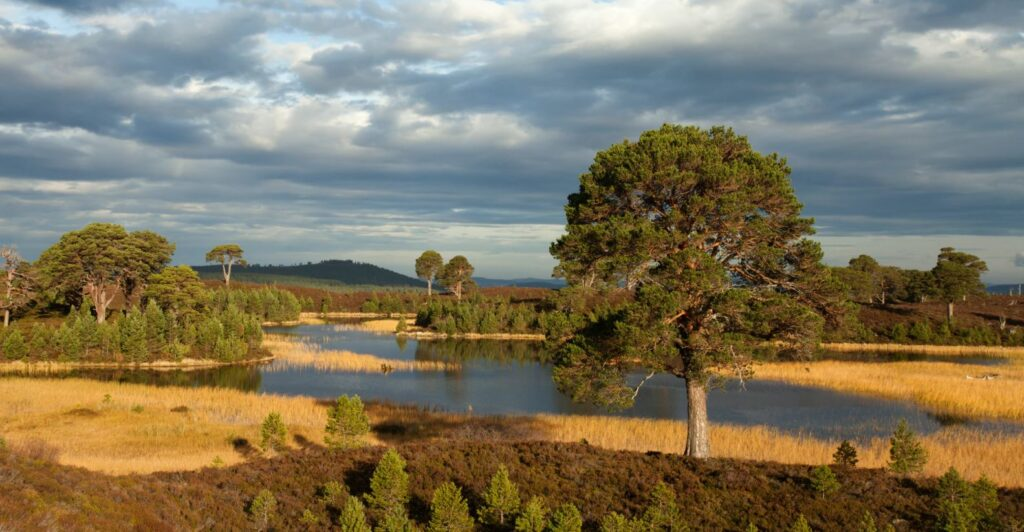 Natural tree regeneration and rewilding in Scotland