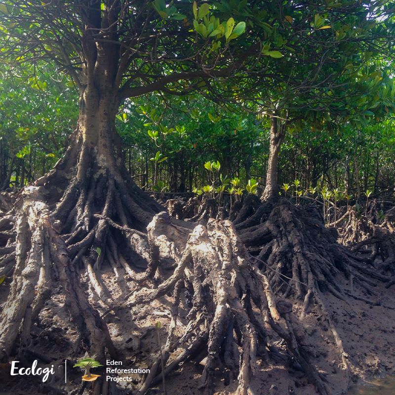 reforestation of mangroves by ecologi and eden projects