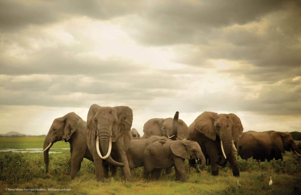 elephants on grassland for ivory game environmental and nature documentary netflix original