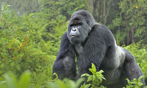 mountain gorilla in virunga national park for environmental documentary on netflix
