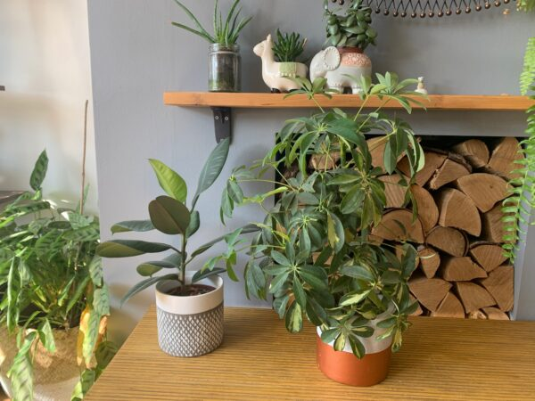 umbrella plant and other plants on table